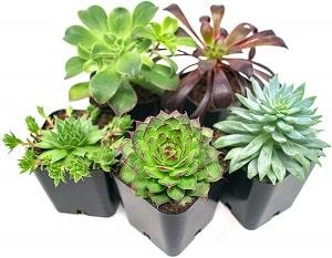 Thanksgiving gift ideas - succulent plants